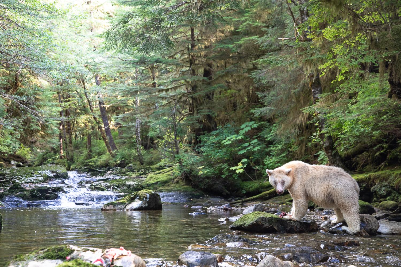 An elder female spirit bear eating a salmon near a waterfall in the Great Bear Rainforest