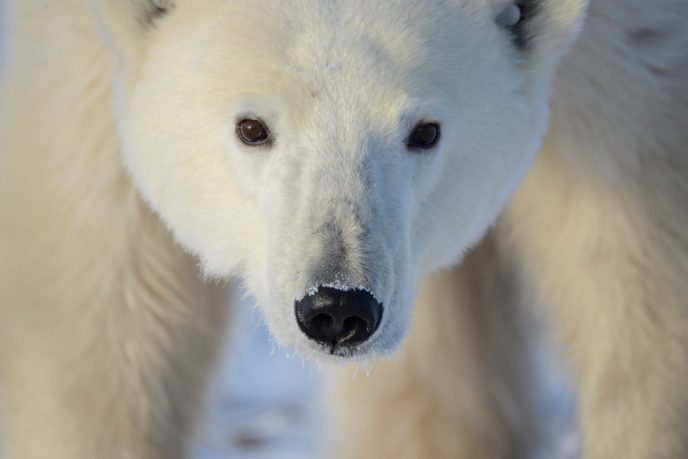 Close of of a young polar bear's face in Churchill, Manitoba
