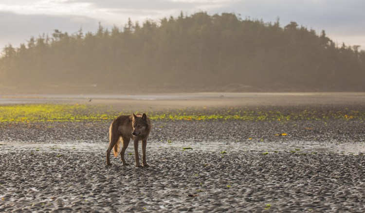 Young coastal wolf standing on sand of intertidal zone in the Great Bear Rainforest