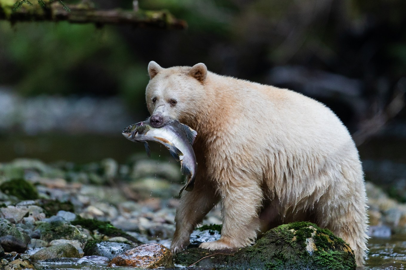Spirit bear with a salmon in the Great Bear Rainforest