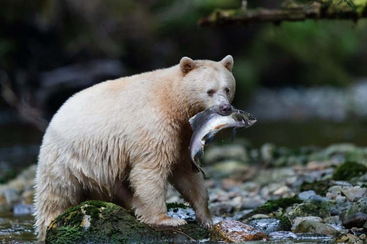 A female spirit bear with a pink salmon in it's mouth in the Great Bear Rainforest