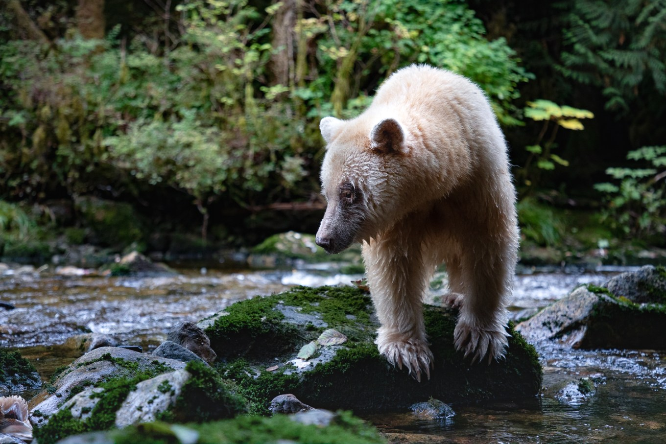 female spirit bear standing on a mossy rock looking for salmon in the Great Bear Rainforest