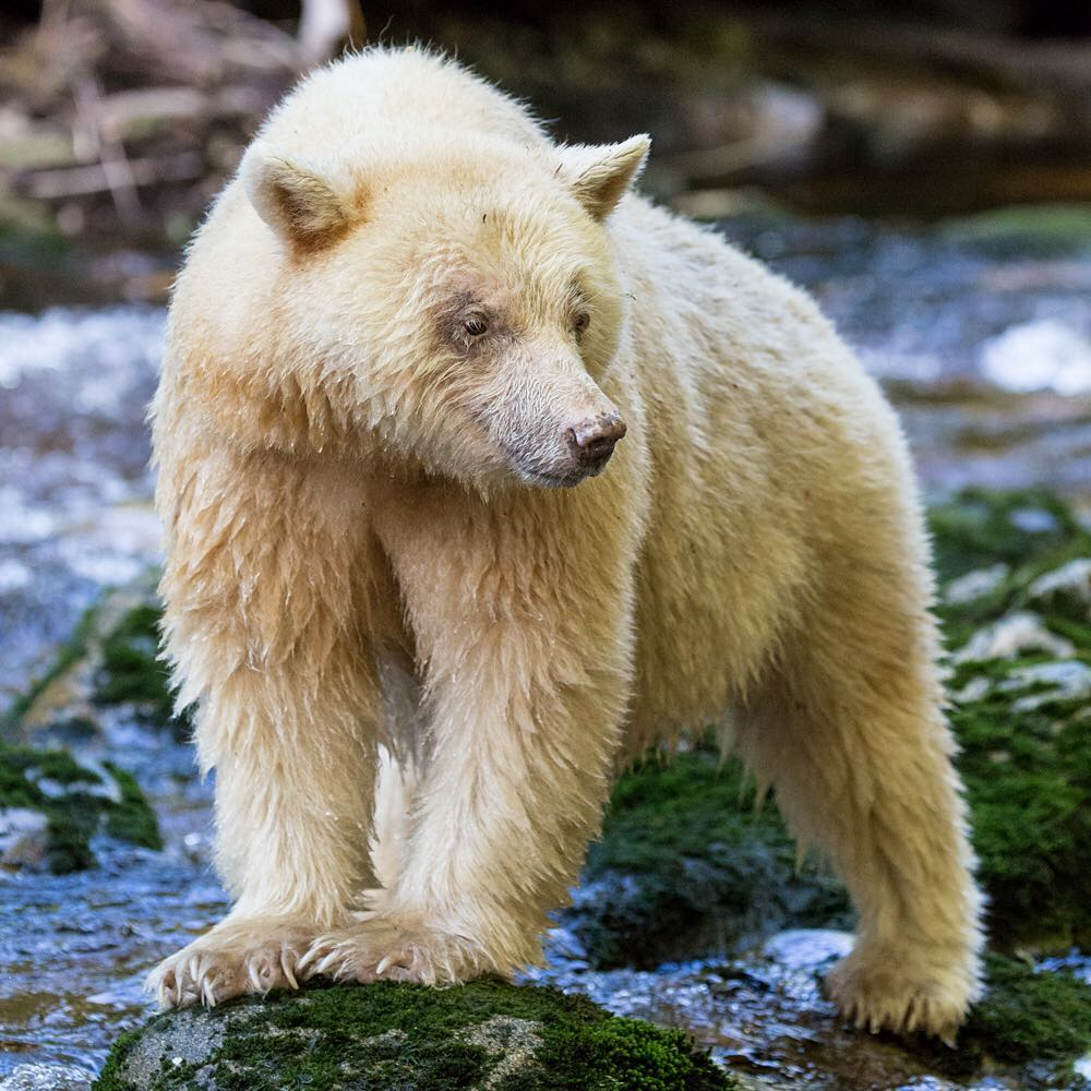 A spirit bear standing on a rock in the Great Bear Rainforest