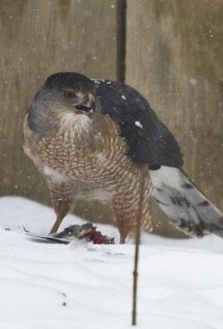 Cooper's Hawk photo by Tim Irvin