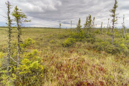 black spruce wetland in Ontario's Far North