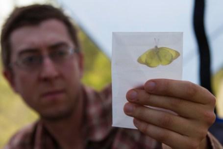 Sulpher butterfly specimen