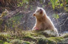 Rainforest bear