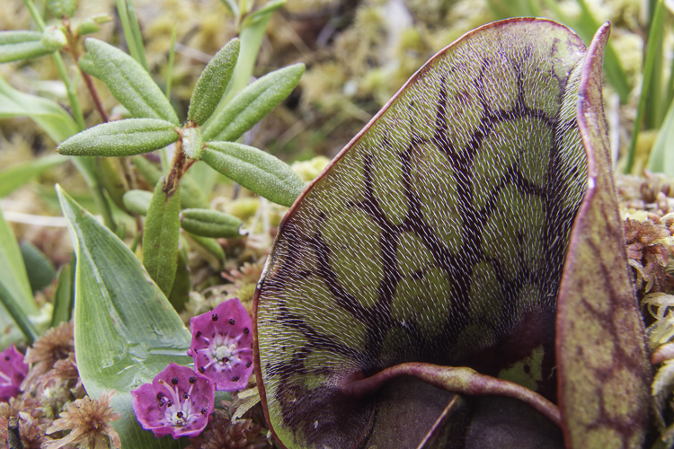 Pitcher plant and labrador tea growing on sphagnum in the Far North of Ontario
