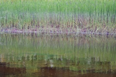 Reeds reflected in the Coulonge River, Quebec