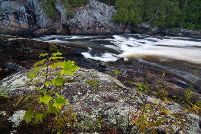 Maple tree and moving water, Canadian Sheild country