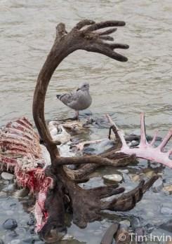 Caribou carcass