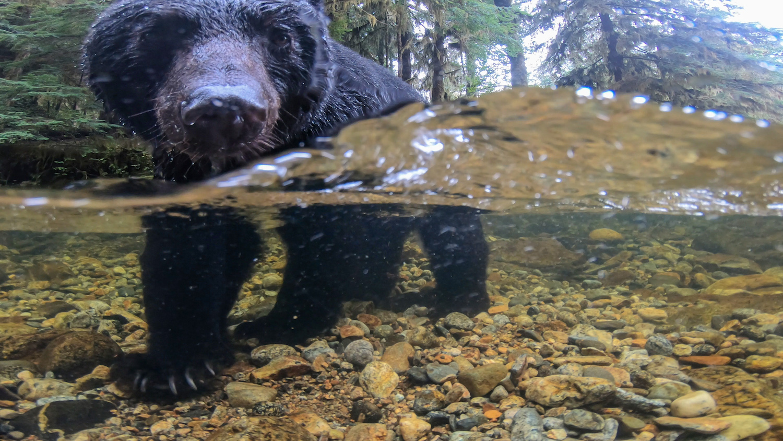An American black bear half above and half below the water