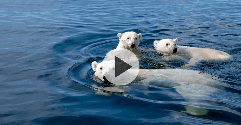 Polar Bear: A Summer Odyssey