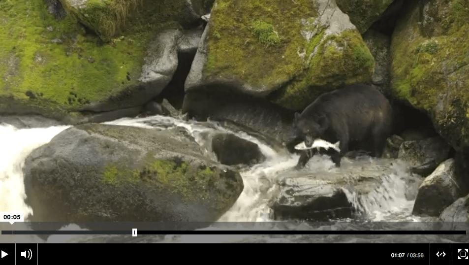 Anan Creek Bears