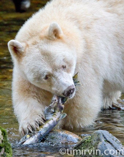 Spirit bear biting into a spawned out female pink salmon
