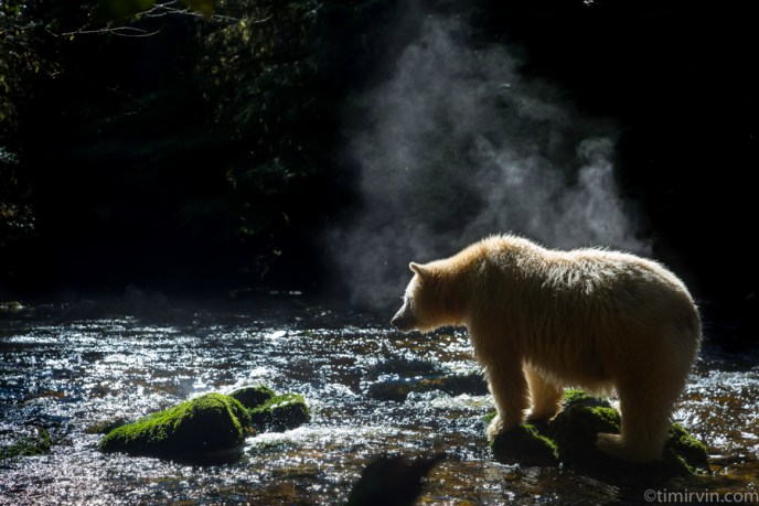 Steam rising off of a spirit bear in the Great Bear Rainforest