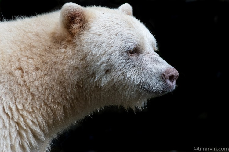 Male spirit bear portrait