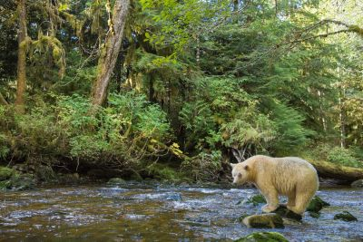 Spirit bear in the rainforest