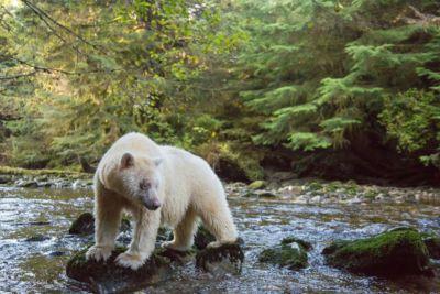 Female spirit bear