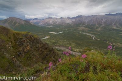 Fireweed and view of the Snake River valley, Yukon.