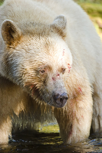 Spirit Bear with blood on its face