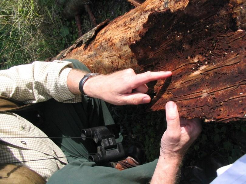 Ein Förstwirt zeigt auf die Hinterlassenschaften von Borkenkäfern