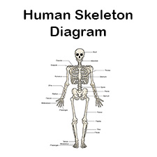 human skull bones diagram labeled sentence diagramming machine printable skeleton unlabeled and blank