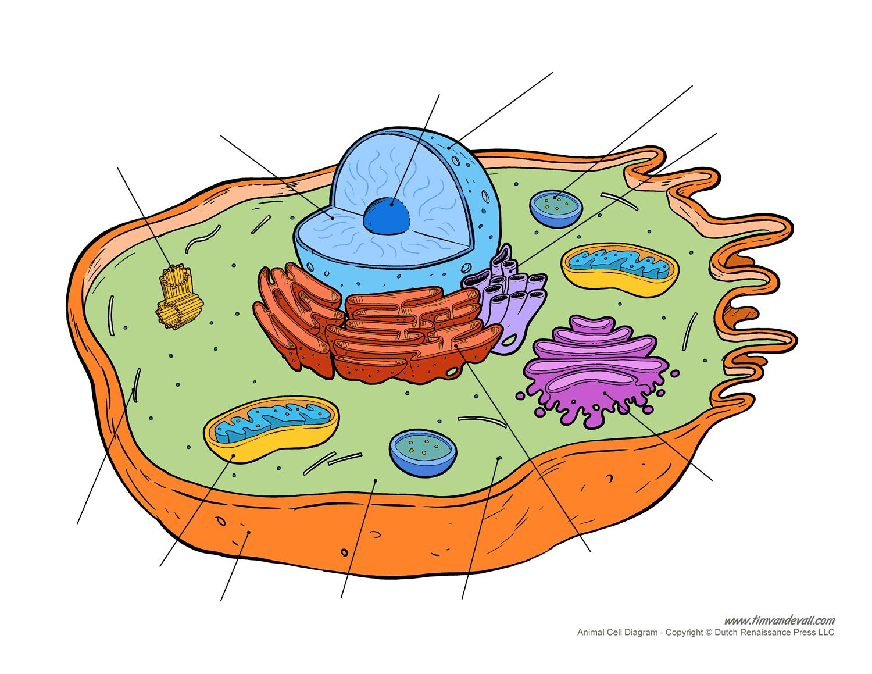 Blank-animal-cell-diagram
