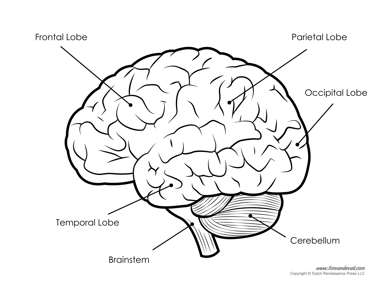 hight resolution of human brain diagram labeled unlabled and blank