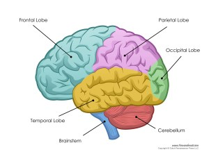 Human Brain Diagram – Labeled, Unlabled, and Blank