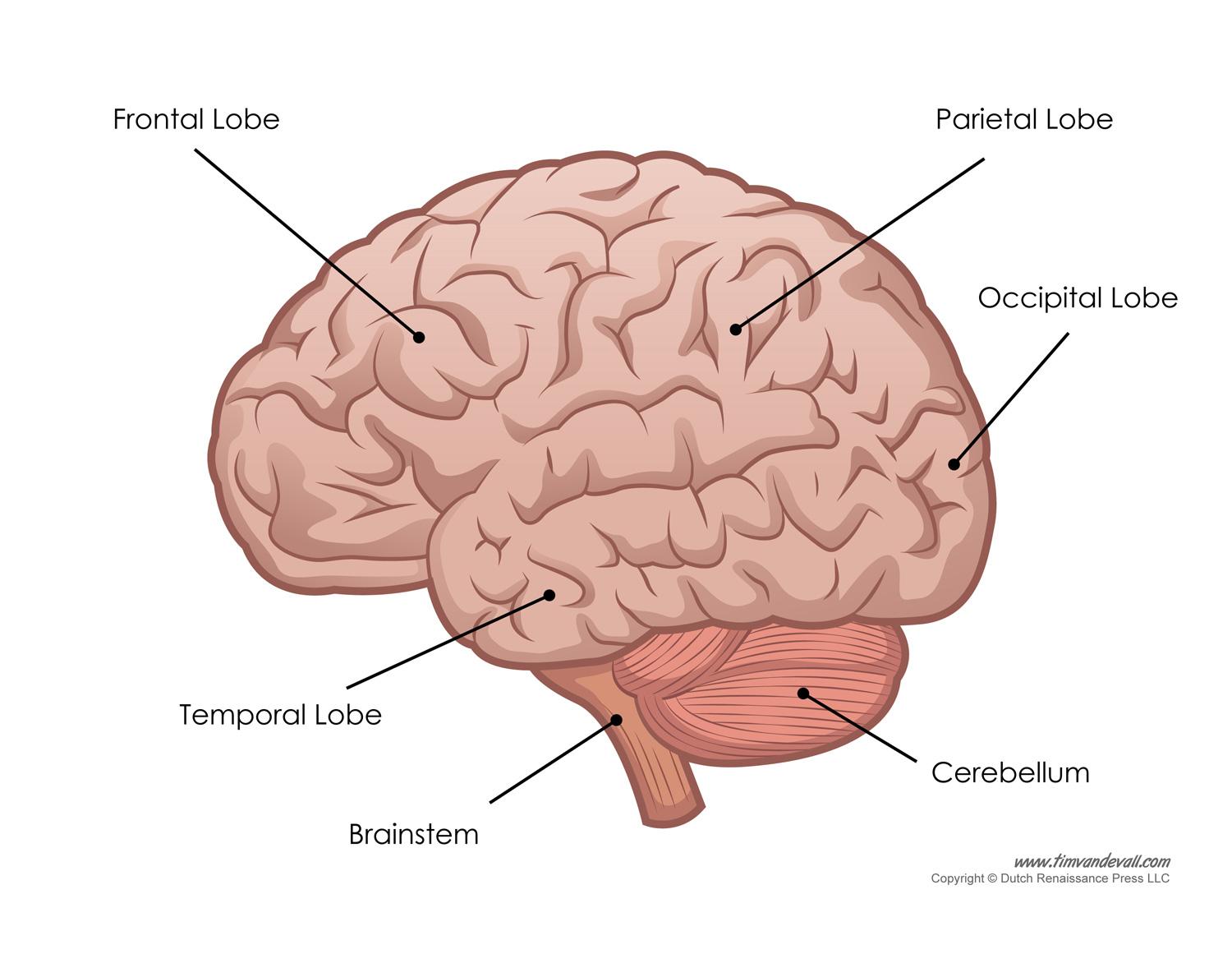 Brain Diagram