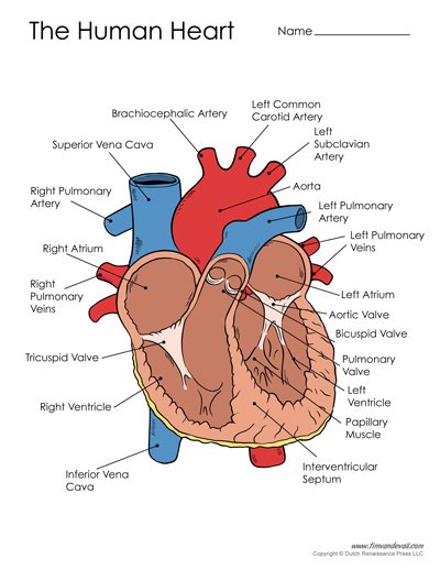 Free Printable Heart Diagram For Kids