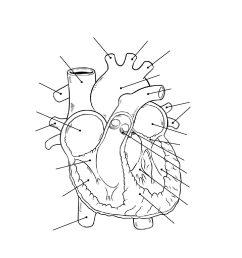human heart diagram unlabeled [ 1088 x 1408 Pixel ]