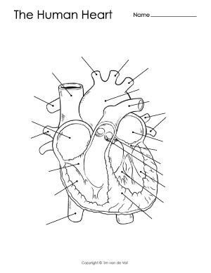 Human Heart Diagram – Unlabeled – Tim's Printables