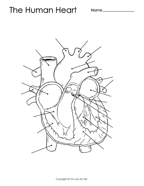small resolution of human heart diagram unlabeled