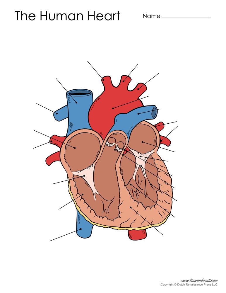 human-heart-diagram-unlabeled - Tim's Printables