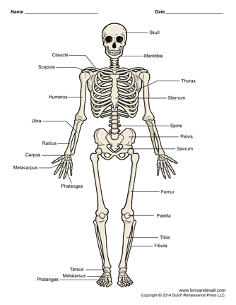 skeletal muscle labeled diagram print bosch oven wiring printable human skeleton unlabeled and blank