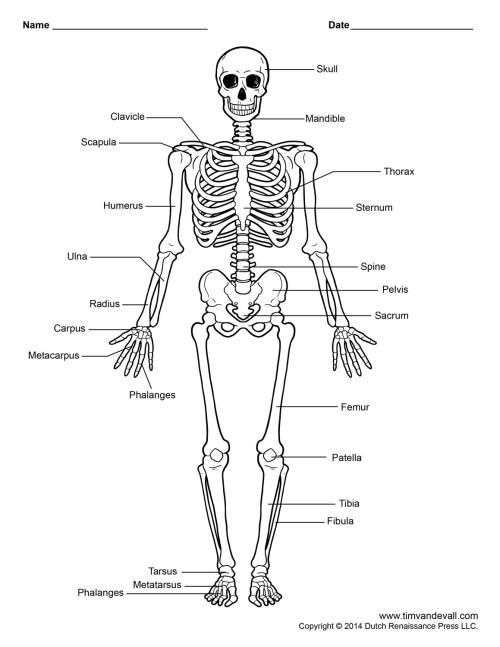 small resolution of human skeleton diagram human skeleton labeled