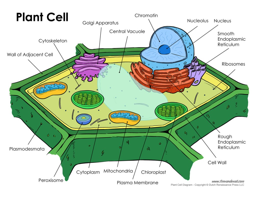 medium resolution of plant cell diagram plant cell labeled