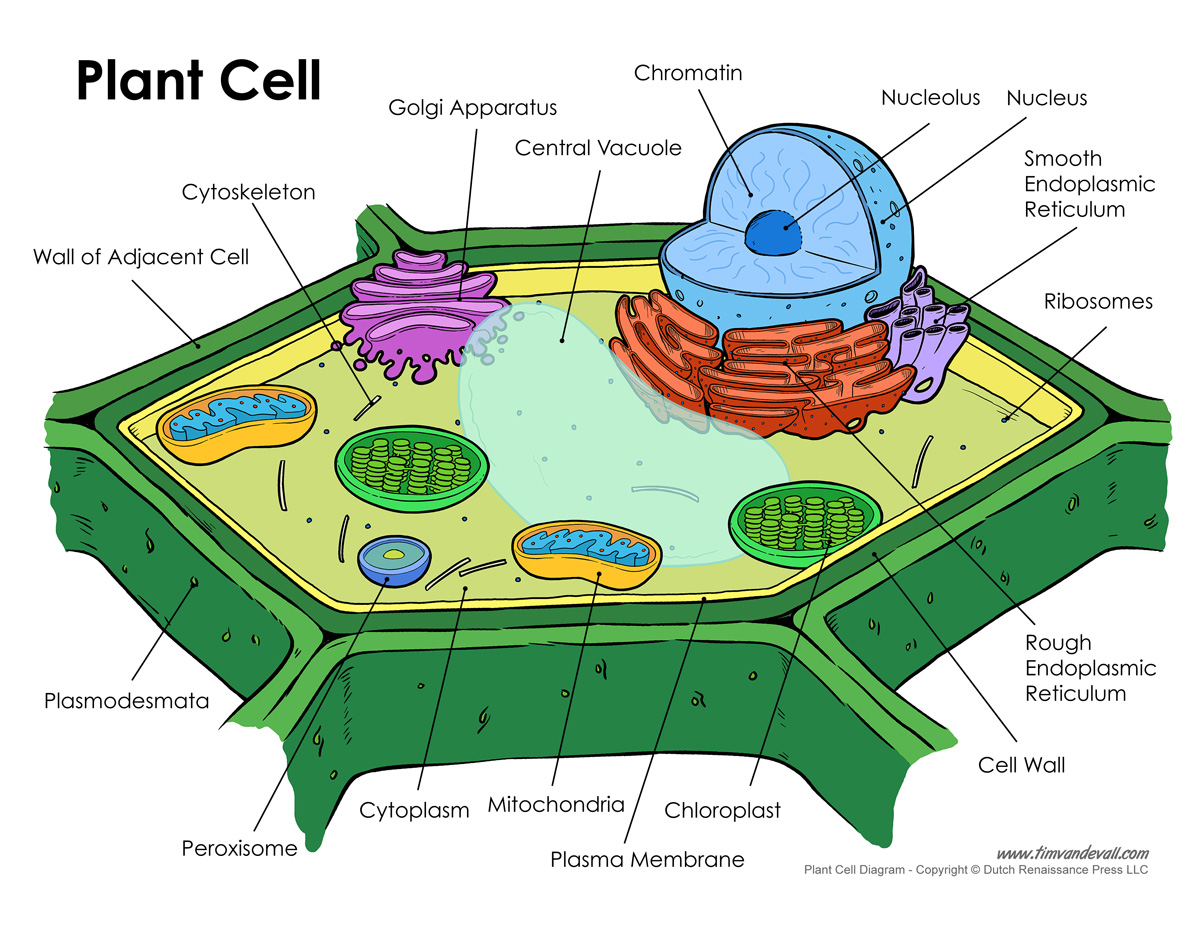 hight resolution of plant cell diagram