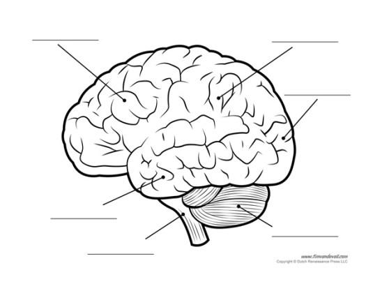 brain lobes diagram blank  u2013 periodic  u0026 diagrams science