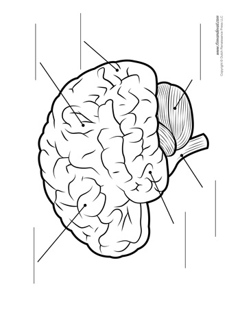 brain diagram unlabeled bw tim\u0027s printablesbrain diagram \u2013 unlabeled \u2013 bw