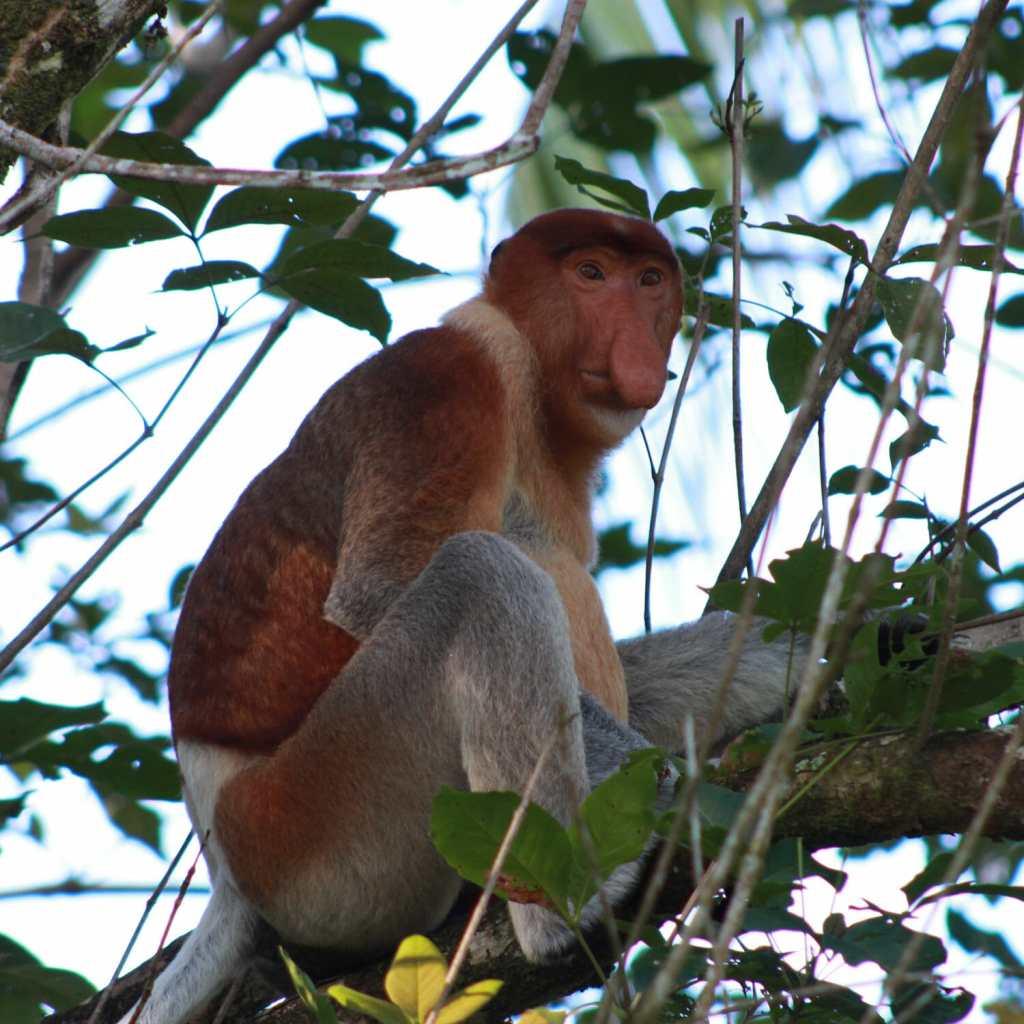 Kuching Bako Dutch Monkey 2
