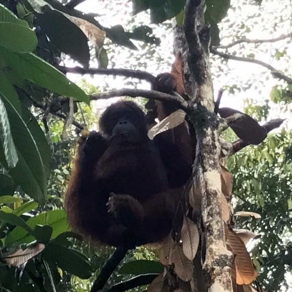 Kuching-Orangutan-01
