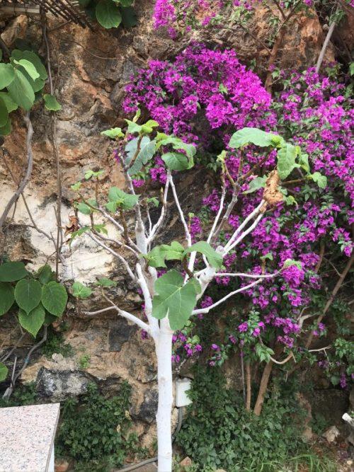 Mina Mallorcaväxter i Coronatider