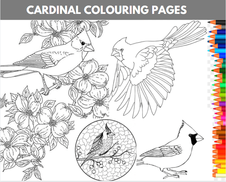Cardinal Colouring Pages
