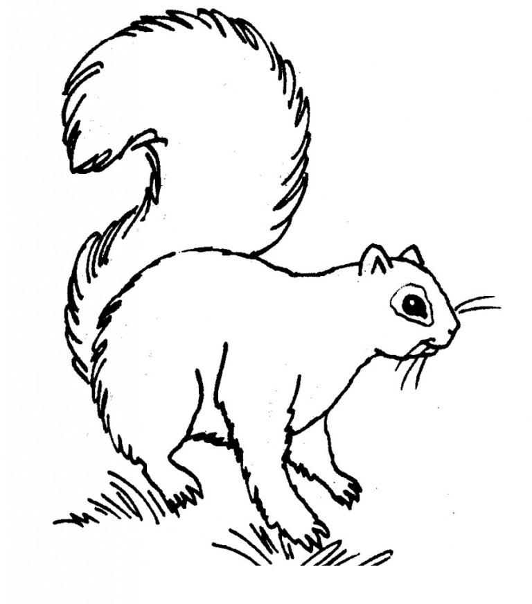 animla squirrel picture to color