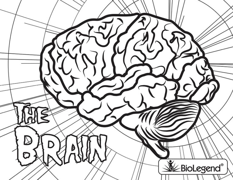 Brain Coloring Page With Labeled