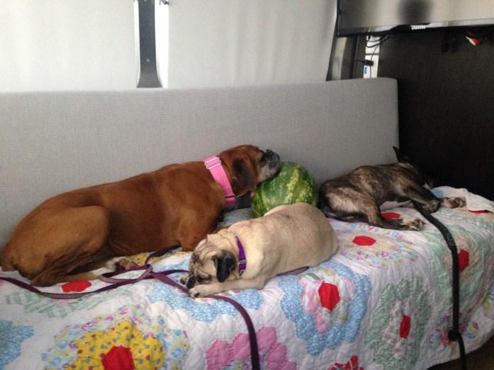 boxer pug french bulldog airstream