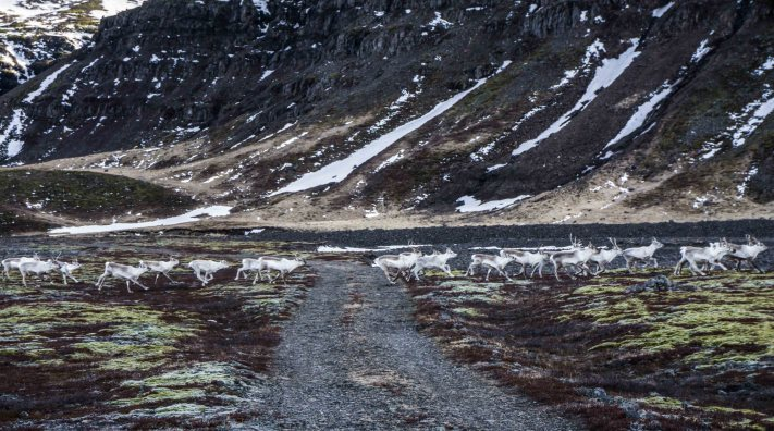Reindeer, East Iceland, Iceland, Guided tours, super jeep tours, 4x4 tours, Breiddalur , Breiðdalur, Austurland